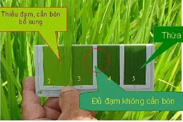 Biểu hiện thiếu hoặc thừa đạm trên cây lúa qua màu sắc lá