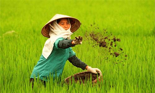 Bón thúc đòng và chăm sóc lúa xuân hiệu quả