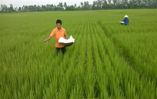 Cách bón phân cho lúa mang lại năng suất cao