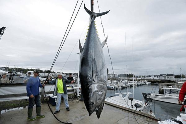 Cá ngừ đại dương vây xanh