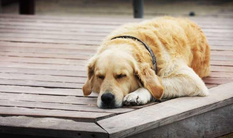Ngủ mơ thấy chó báo hiệu điềm gì?