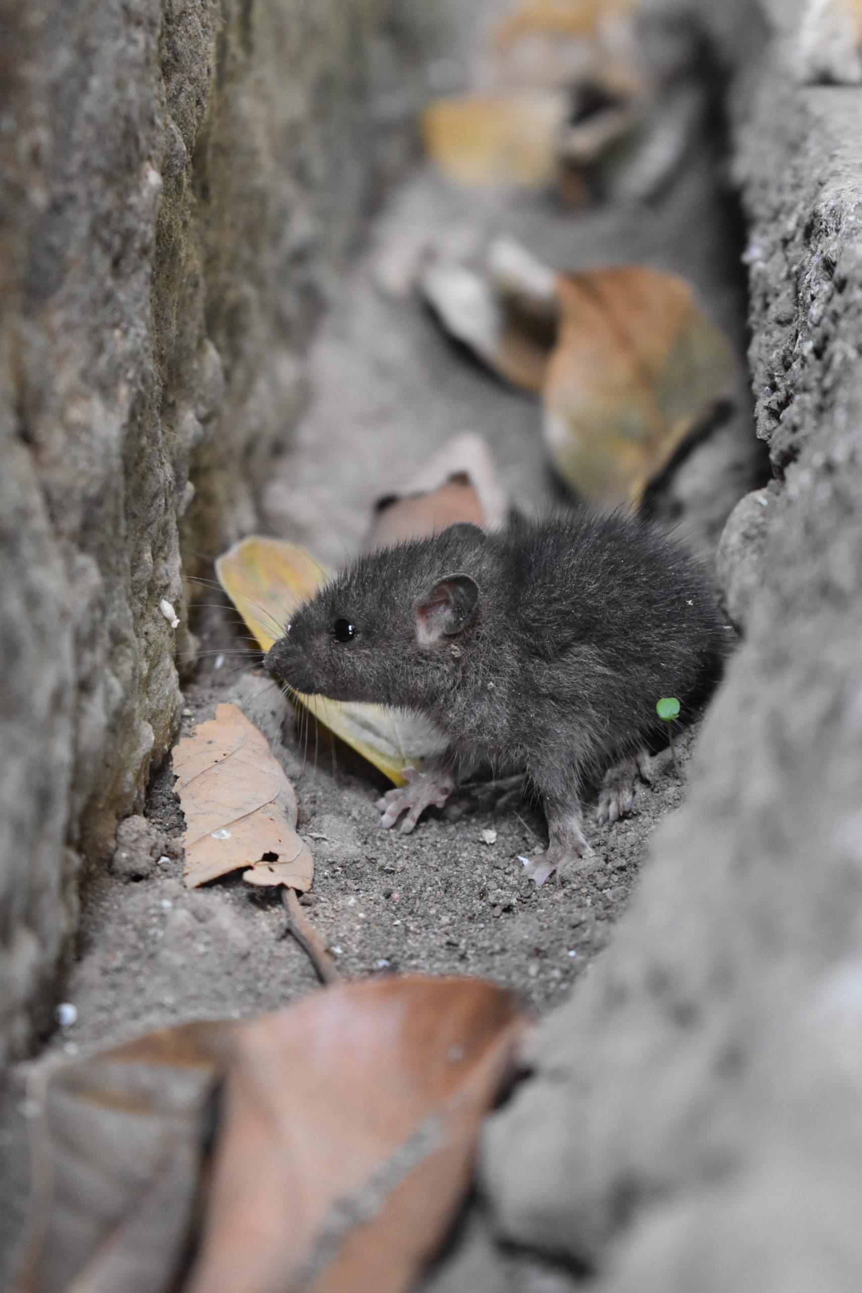 Nằm mơ thấy con chuột điềm báo gì