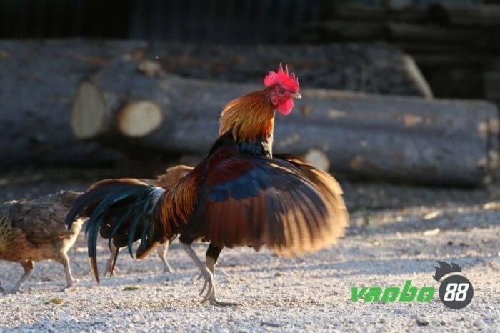 Tham gia sòng cược đá gà online tại Vaobo88