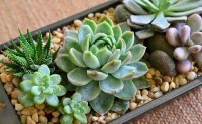 Top 5 các loại sen đá đẹp và dễ trồng mà còn có giá trị phong thủy