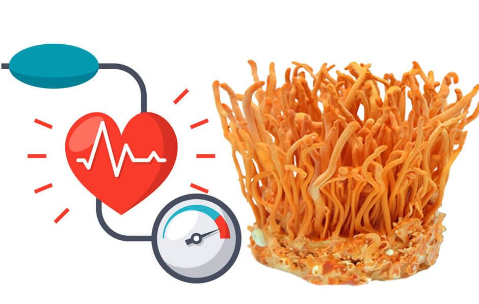 Đông Trùng Hạ Thảo có tốt cho người bệnh huyết áp hay không?